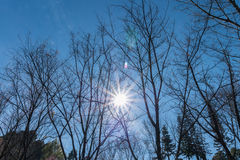 Überdachung der wilden Himalajakirsche (Prunus cerasoides) im Park mit klarem blauem Himmel Lizenzfreies Stockfoto
