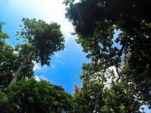 Überdachung von Bäumen in einem klaren blauen Himmel stockbilder