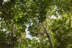Überdachung von Mangrovenbäumen im Mangrovenwald, wie in der Lekki-Erhaltungs-Mitte in Lekki, Lagos Nigeria gesehen lizenzfreie stockfotografie