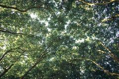 Überdachung von Plataneniederlassungen im Sommer lizenzfreies stockbild