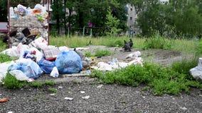Überfließende Mülleimer in der Stadt mit Tauben, Hunden und Katzen stock video