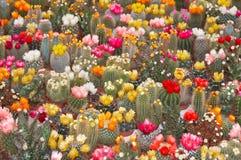 Überfluss an den Kaktusblumen Lizenzfreies Stockbild
