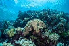 Überflussriff und -Meeresflora und -fauna in Nationalpark Wakatobi, Indone Lizenzfreies Stockfoto