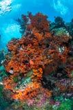 Überflussriff und -Meeresflora und -fauna in Nationalpark Wakatobi, Indone Stockbild
