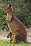 Überfluten Sie Wallaby (Wallabia zweifarbig) mit einem joey Lizenzfreie Stockfotos