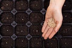 Übergeben Sie ausgebreitete Samen in Keimungsbehälter Stockfotos