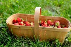 Übergeben Sie ausgewählte Erdbeeren im hölzernen Korb auf Rasen Stockfotografie