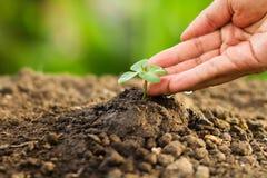 Übergeben Sie Bewässerungspflänzchen oder Sämling durch Tropfenwasser von der Hand sorgfältig Stockfoto