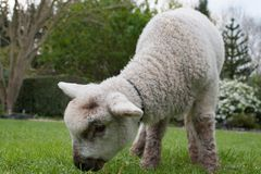 Übergeben Sie das gezüchtete Lamm, das Gras in einem Park isst Lizenzfreie Stockfotografie