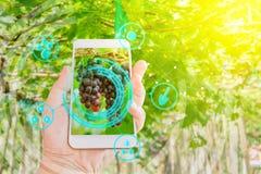 Übergeben Sie das Halten des Handys, der Trauben im Landwirtschaftsgarten mit modernen Technologien des Konzeptes kontrolliert stockbild