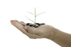 Übergeben Sie das Halten eines jungen Baums, der auf Münzen auf weißem Hintergrund wächst Stockfotos