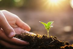 übergeben Sie das Pflanzen des kleinen Baums und des Sonnenaufgangs im Garten Konzept grüner wo lizenzfreie stockfotos