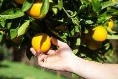 Übergeben Sie das Sammeln herauf eine Tangerine von einem Baum Stockfoto