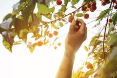 Übergeben Sie die Ernte einer süße Kirschfrucht in der Hintergrundbeleuchtung Stockfotos