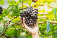 Übergeben Sie die Ernte von reifen Trauben BLACKOPOR auf einer Rebe im landwirtschaftlichen Garten Stockbild