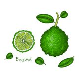 Übergeben Sie die gezogene Illustration der Bergamotte lokalisiert auf weißem Hintergrund Frucht gravierte Artillustration Ausfüh stock abbildung