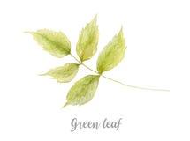 Übergeben Sie gezogene Aquarellillustration des grünen Blattes auf weißem Hintergrund Stockfoto