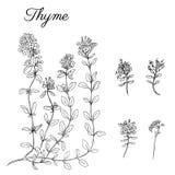Übergeben Sie gezogene Thymianniederlassung mit den Blättern, die auf Weiß lokalisiert werden Heilendes Kraut Botanische Illustra vektor abbildung