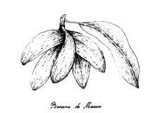 Übergeben Sie gezogenes von Banana de Macaco Fruits auf weißem Hintergrund Lizenzfreies Stockfoto