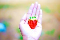 Übergeben Sie Griff frische Erdbeere auf Baum im Fruchtbauernhof, organische lokale Früchte für Experimenttest Stockfoto