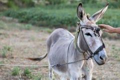 Übergeben Sie Liebkosung Esel auf einem Gebiet am sonnigen Tag Lizenzfreie Stockfotografie