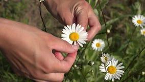 Übergeben Sie Vermutungszukunft mit weißem Gänseblümchen auf Blumenhintergrund 4K stock video footage