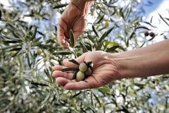 Übergibt die erwachsene Frau, die engagiert wird, Oliven auszuwählen Stockbild