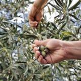 Übergibt die erwachsene Frau, die engagiert wird, Oliven auszuwählen Stockfotografie
