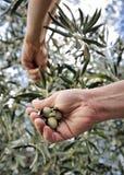 Übergibt die erwachsene Frau, die engagiert wird, Oliven auszuwählen Lizenzfreie Stockfotografie