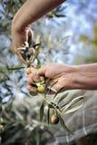 Übergibt die erwachsene Frau, die engagiert wird, Oliven auszuwählen Lizenzfreie Stockfotos