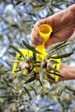 Übergibt die erwachsene Frau, die engagiert wird, Oliven auszuwählen stockfoto