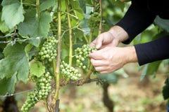 Übergibt Weinstock Stockfoto