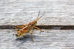 Übergroße amerikanische Heuschrecke; unglaubliches Design stockfotografie