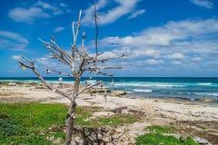 Überholter Baum mit Muscheln auf dem Strand von Isla Mujeres, Mexiko Stockbilder