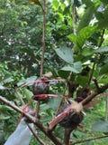 Überlagerungstechnik der Guave in Thailand stockfoto