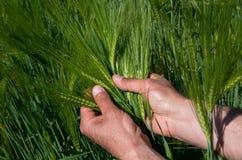 Überprüfen Sie die Ernte der Gerste Lizenzfreies Stockfoto