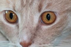 Überraschende goldene Katzenaugen stockbild
