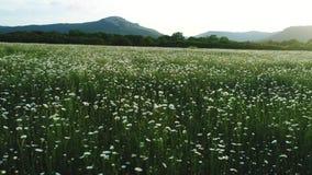 Überraschende Vogelperspektive des blühenden Blumenfeldes, der weißen Kamille und der Kiefer mit Bergen auf dem Hintergrund schu? stock video footage