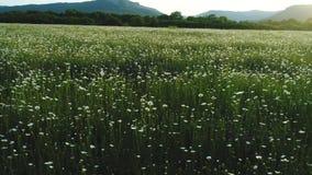 Überraschende Vogelperspektive des blühenden Blumenfeldes, der weißen Kamille und der Kiefer mit Bergen auf dem Hintergrund schu? stock footage