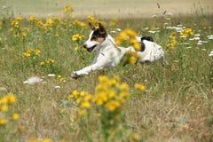Überraschender Jack Russell-Terrierbetrieb und -c$springen Stockbild