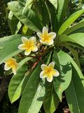 Überraschender Plumeria in den Bahai-Gärten lizenzfreie stockbilder