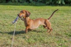Überraschendes Bild eines Wursthundes, der mit seiner Leine spielt stockfotografie