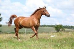 Überraschendes Budyonny-Pferd, das auf Wiese läuft Stockfotos