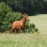 Überraschendes Budyonny-Pferd, das auf Wiese läuft Stockbild