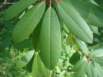 Überraschendes Rododendron-Blatt stockfoto