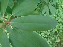 Überraschendes Rododendron-Blatt lizenzfreie stockfotos