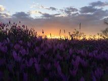 Überraschendes Sonnenunterganglavendelfeld stockbilder