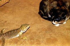 Überraschte die Katze und die kleine bärtige Dickzungeneidechse stockfoto