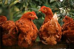 Überraschte Hühner Stockfotos