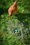 Überraschte Henne mit den Ostereiern Stockfotografie
